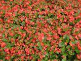 潍坊名声好的四季海棠供应商推荐 四季海棠批发价格