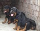 苏州狗场直销丶纯种罗威纳犬丶三包健康纯种包存活