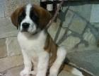 江门哪有圣伯纳犬卖 江门圣伯纳犬价格 江门圣伯纳犬多少钱