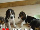佛山哪里有卖比格犬 顺德米格鲁猎犬比格价格多少