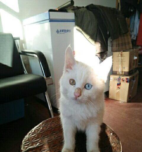 鸳鸯眼波斯猫,纯白色母猫