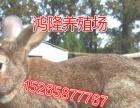 江西肉兔价格,獭兔养殖