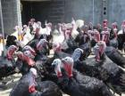 常年供应孔雀标本,孔雀苗,红,白腹锦鸡,火鸡,苗,黑天鹅
