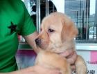 奶白色拉布拉多幼犬出售