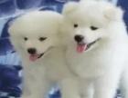 极品萨摩耶犬 好养乖巧 纯种大气 公母都有