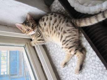 孟加拉豹貓 野性外表溫柔家貓性格 時尚 漂亮