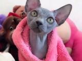 7个月精品纯蓝皮黄眼母斯芬克斯猫加拿大无毛猫