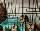 宠物猫银虎斑