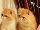 伊诺高端大气、上档次低调奢华有内涵、赛级品质加菲猫