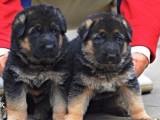 纯种德国牧羊犬 血统纯正 部队用犬 保健康