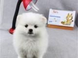 苏州出售健康放心的博美宝宝 签定健康协议 纯种协议