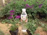 青州细叶美女樱批发商 出色的细叶美女樱供应商就在潍坊