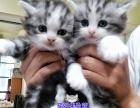 良心繁育美短英短蓝猫短毛猫加白起司猫渐层宠物猫预定