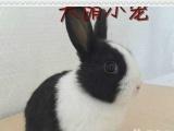 PT宠物兔,垂耳兔,活泼可爱,绝对萌人直接视频选兔