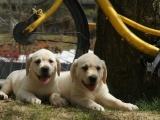 绵阳 纯种拉布拉多幼犬 疫苗齐全出售中 可签协议健康保障