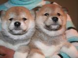 北京东城普通的秋田犬一般多少钱