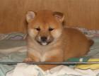 本犬舍承诺在本犬舍购买幼犬有四大保障柴犬出售