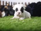 拉萨哪里卖纯种法牛 拉萨法牛犬舍 拉萨法国斗牛犬多少钱