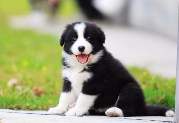 最聪明的_世界上最聪明的十种狗分别是哪些 Top10