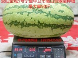 西瓜种子就选双红金城5号