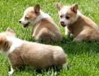 重慶出售 純種柯基幼犬 疫苗齊全出售中 可簽協議健康保障