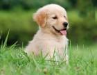 犬舍精品金毛寻回犬 cku认证犬舍 保一年这还是一面完整健康 可签协议
