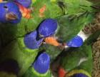 專業繁殖吸蜜鸚鵡 和尚鸚鵡 亞歷山大鸚鵡 金太陽鸚鵡 鷯哥