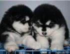 信誉服务 高端品质保障 纯种阿卡斯加犬 常年有货
