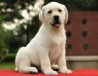 广州狗场出售纯种拉布拉多犬 性格温顺听话 疫苗齐签健康协议