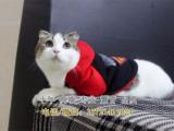 出售英短蓝白猫宠物猫纯种英国短毛猫英短蓝白立耳折耳