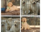 精品双血统大骨架金毛犬 品质有保障 签协议可送货