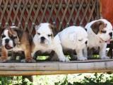 北京哪有英国斗牛犬卖 北京英国斗牛犬多少钱 英国斗牛犬图片