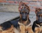 犬舍直销一德国牧羊犬一签协议一包养活一包三个月退换