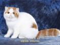 异国短毛猫纯种家养加菲幼猫纯白加菲猫加菲梵文幼猫宠