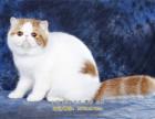 上海猫舍出售纯种健康加菲猫英国短毛猫美短可上门