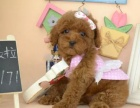 上海纯种玩具泰迪熊幼犬 公母幼犬都有 品质保证
