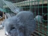 出售宠物垂耳兔猫猫兔侏儒兔道奇兔