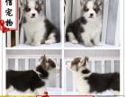 哪里可以买到柯基幼犬 柯基多少钱 柯基好养吗 柯基图片