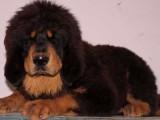 舟山什么地方有狗场卖宠物狗/舟山哪里有卖藏獒犬