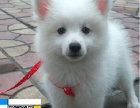 纯种银狐幼犬 保健康 可看狗
