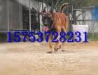 怀化的马犬多少钱一只,黑马犬的价格,马犬的训练视频