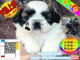 上海哪里有卖西施犬的 西施多少钱一只 西施好养吗