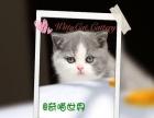 CFA纯种英国短毛猫MM, 宠物绝育价