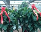 保定市窑上村最大开业庆典花卉批发市场