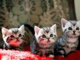 曼基康矮脚猫/蓝猫/虎斑猫/美短猫/一千二起