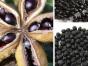 银川牡丹花浸泡油的功效,银川油用牡丹特性