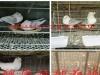 主要经营:肉鸽养殖,