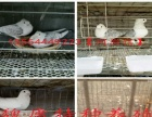 主要经营:肉鸽养殖,肉鸽批发,种鸽批发、落地王鸽、观赏鸽