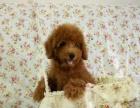 泰迪幼犬保证纯种健康、签订活体协议、