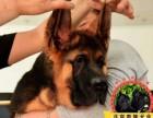 精品锤系大头德国牧羊幼犬带血统证书 种公可对外配种